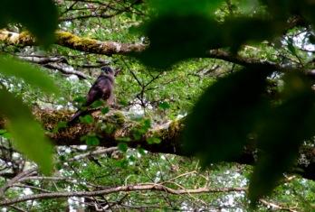 NZ_falcon